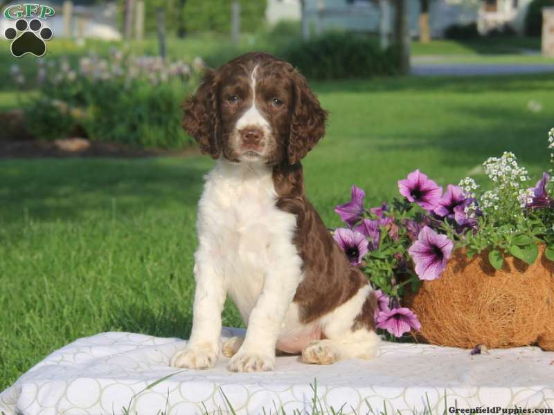 English Springer Spaniel Puppies for Sale | Greenfield Puppies