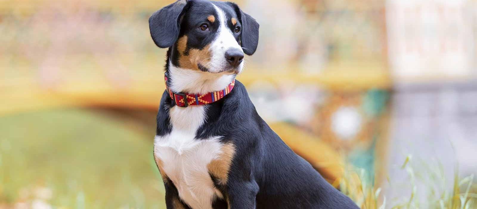 Entlebucher Mountain Dog Puppies For Sale Greenfield Puppies
