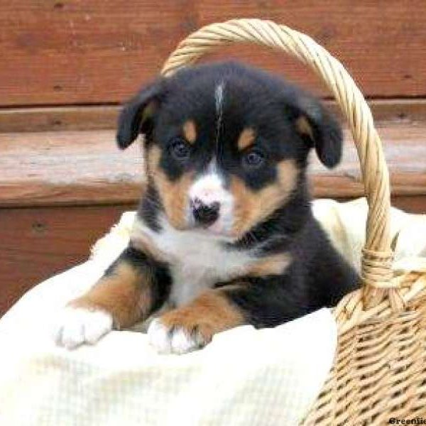 Entlebucher Mountain Dog Puppy