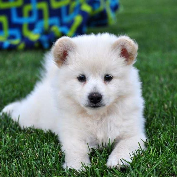 Eskipom Puppies For