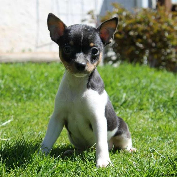 Fox Terrier-Smooth Puppy