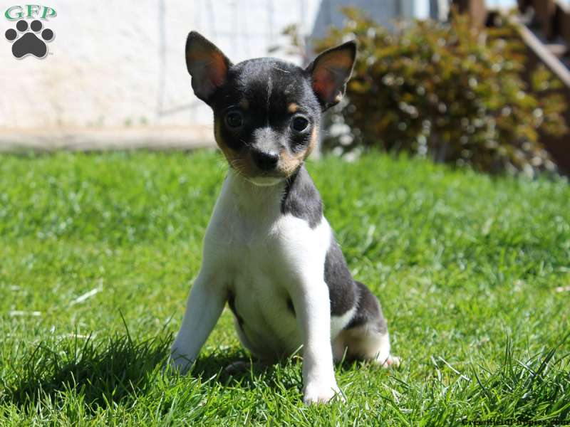 Smooth Fox Terrier Puppies For Sale Greenfield Puppies