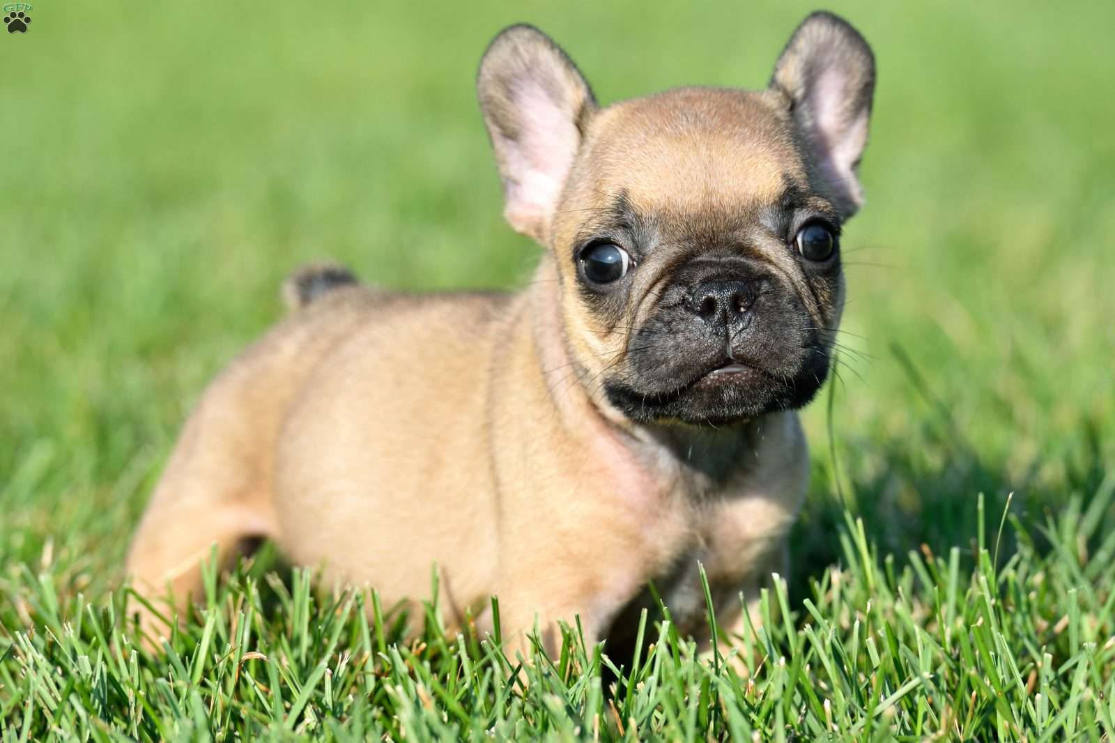 french bulldog puppies for sale in ms french bulldog puppies for sale in pa md nj ny 7645