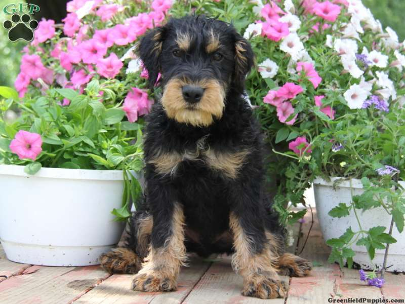 German Hunt Terrier Puppies For Sale Greenfield Puppies
