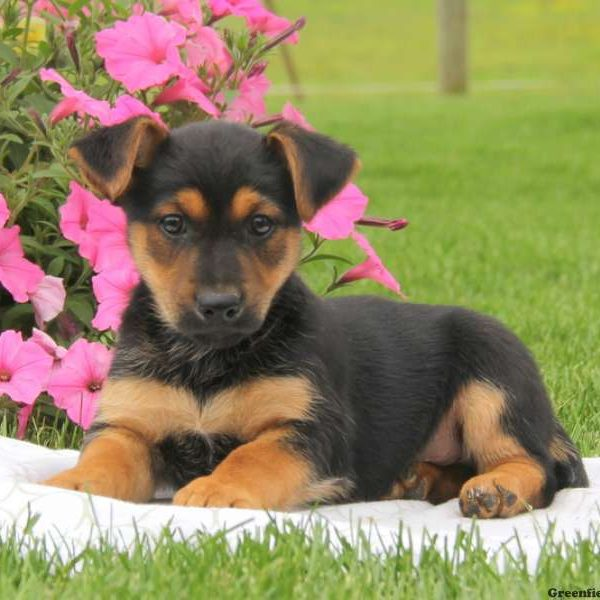 German Shepherd-Miniature Puppy