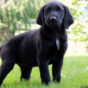 German Shorthaired Pointer Mix Puppies For Sale Greenfield Puppies