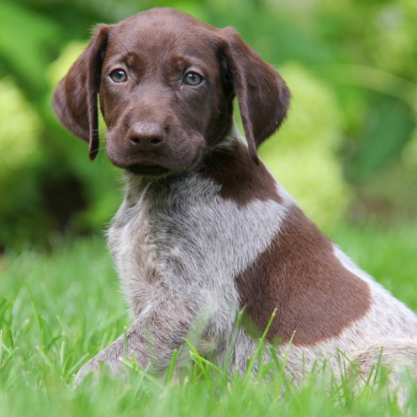 German Shorthair Pointer Dogs For Sale