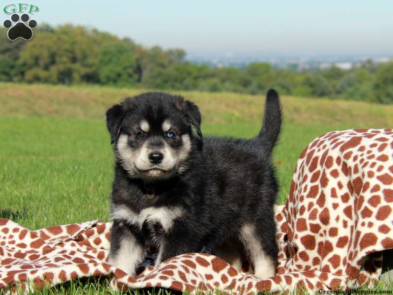Goberian Puppies for Sale - Goberian Dog Breed Info | Greenfield Puppies