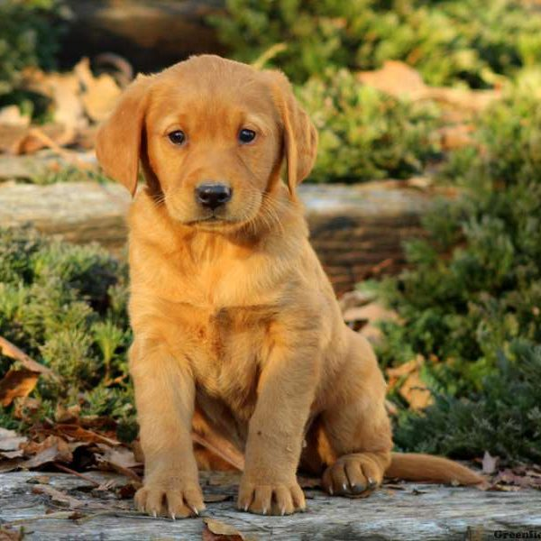 Golden Labrador Puppies For Sale - Golden Labs | Greenfield