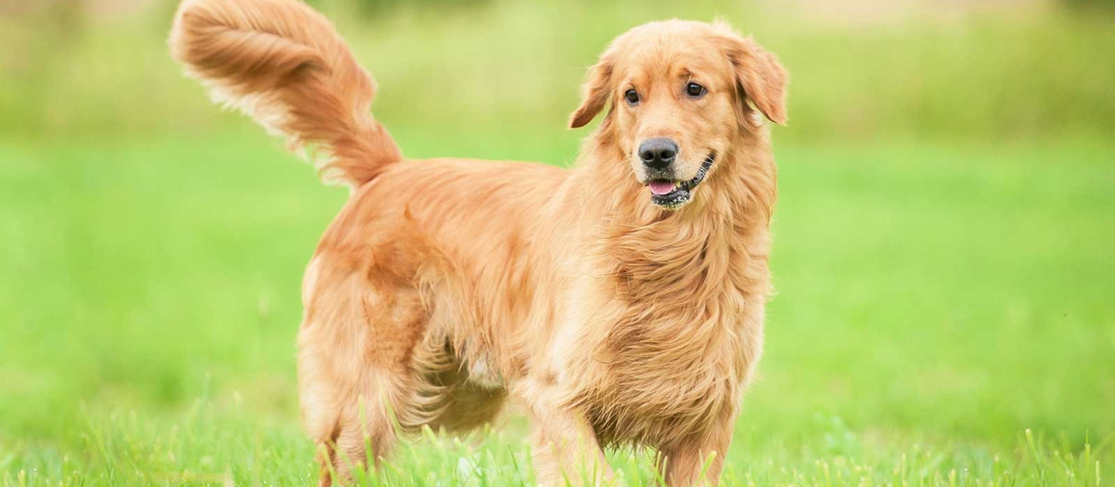 Pictures of golden retriever for sale near me cheap