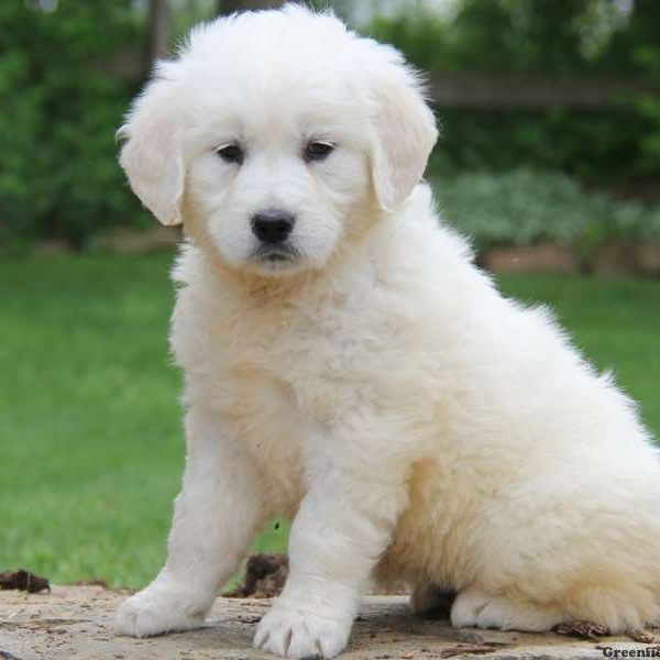 Golden Retriever-English Cream Puppy