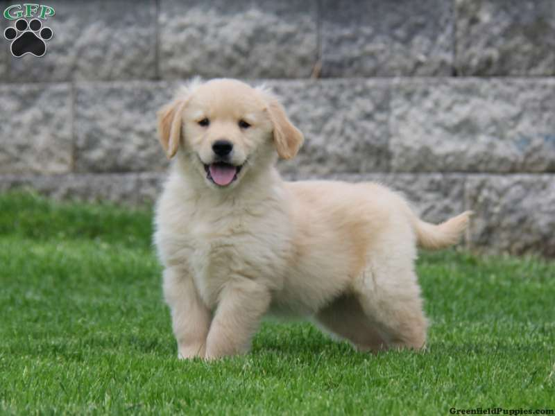 Golden Retriever Puppies For Sale Greenfield Puppies