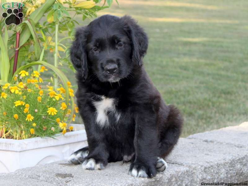 Golden Saint Puppies For Sale Greenfield Puppies
