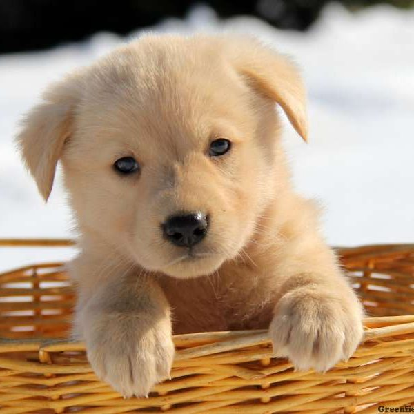 Golden Shepherd Puppy