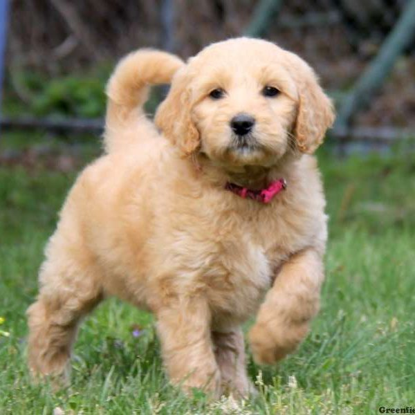 Goldendoodle Puppies For Sale In PA | Greenfield Puppies