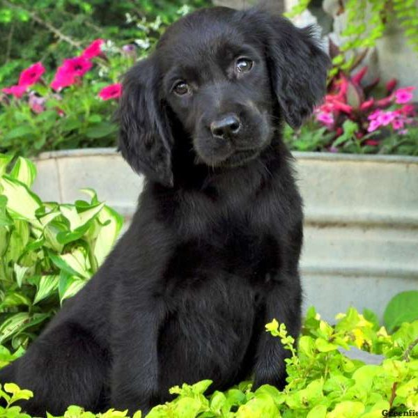Gordon Setter Mix Puppy