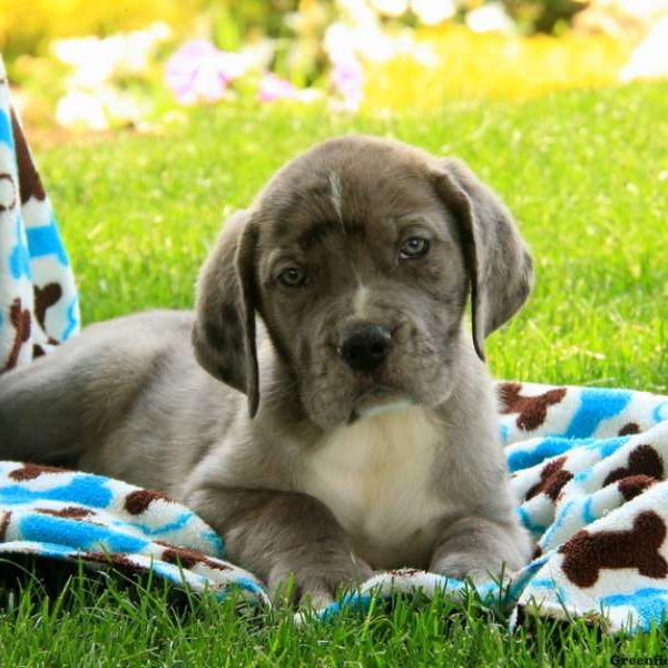 Great Dane Mix Puppy