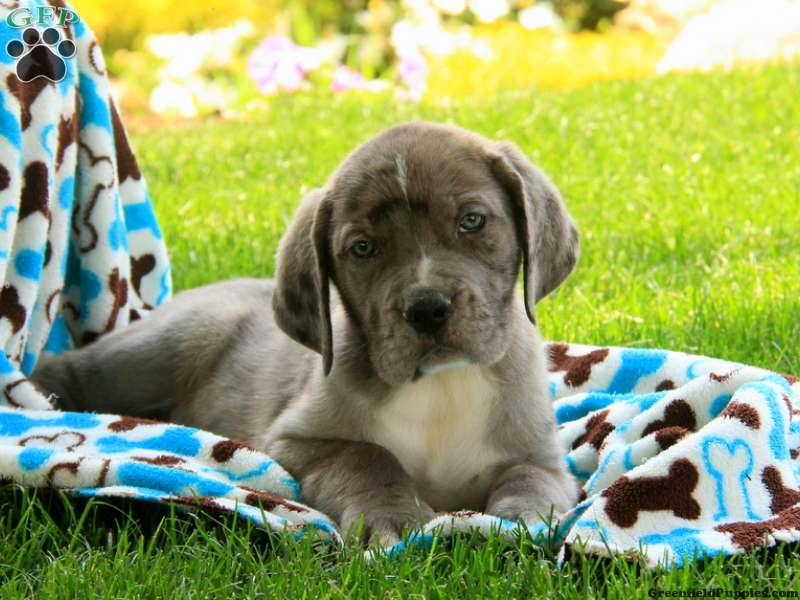 Great Dane Mix Puppies For