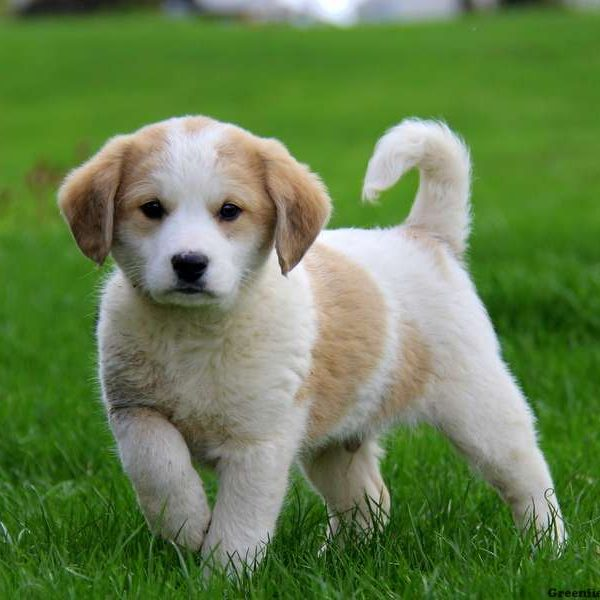 Great Pyrenees Mix Puppy