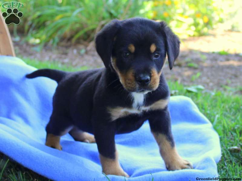 Greater Swiss Mountain Dog Mix Puppies For Sale Greenfield Puppies