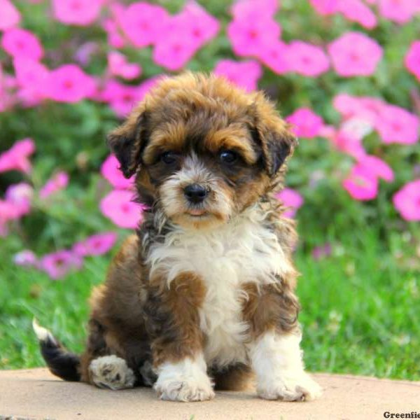 Havanese Mix Puppies For Sale | Greenfield Puppies