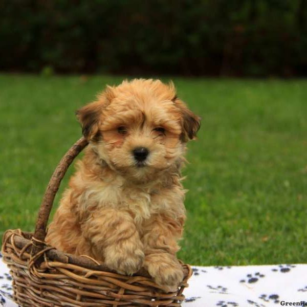 Havanese Puppies For Sale  Dog Breed Profile  Greenfield Puppies