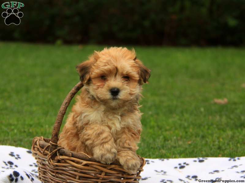 Havanese Puppies For Sale - Havanese Breed Profile