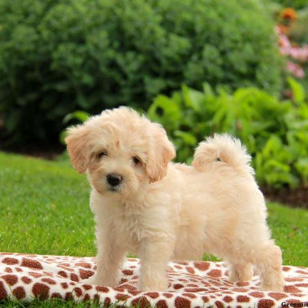 Havanese poodle mix washington state