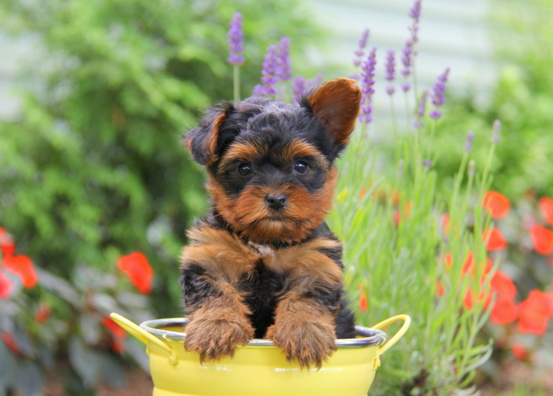 Yorkshire Terrier Puppies for Sale | Greenfield Puppies