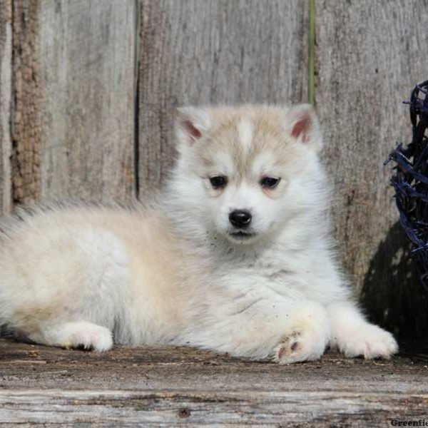 Huskimo Puppies for Sale - Huskimo Breed Profile | Greenfield Puppies