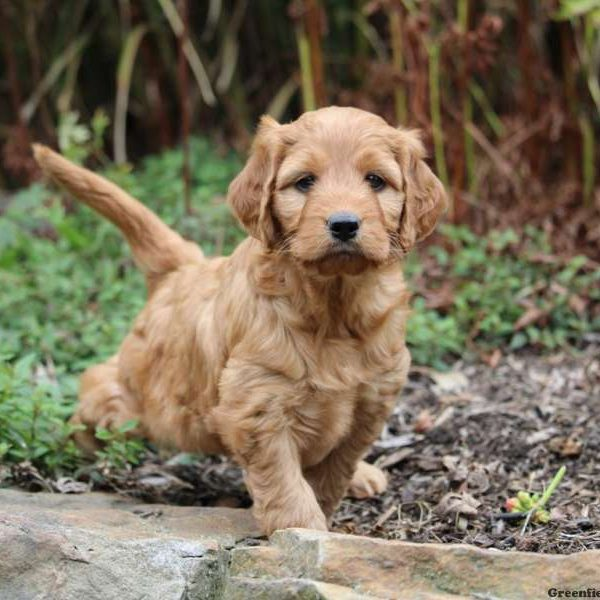IrishDoodle Puppies For Sale - Irish Doodles | Greenfield