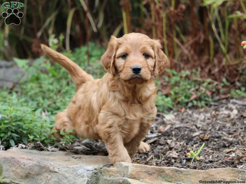 Irishdoodle Puppies For Sale Irish Doodles Greenfield Puppies