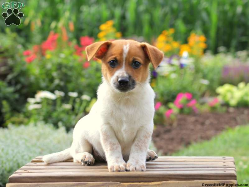 Jack Russell Mix Puppies For Sale Greenfield Puppies