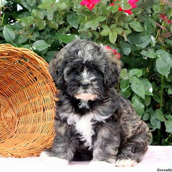 Shih Tzu Mix Puppy