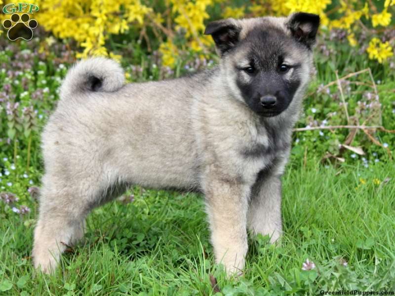 Keeshond Mix Puppies For Sale | Greenfield Puppies