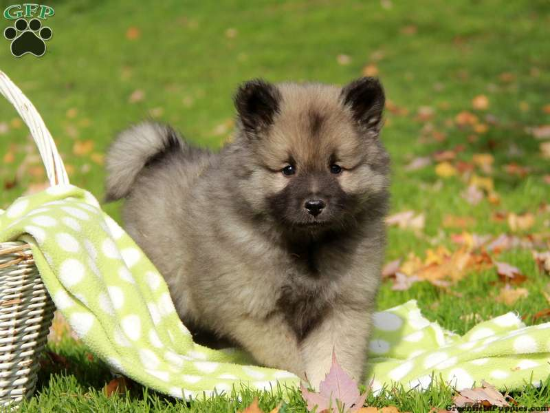 Keeshond Puppies For Sale | Dog Breed Profile | Greenfield ...