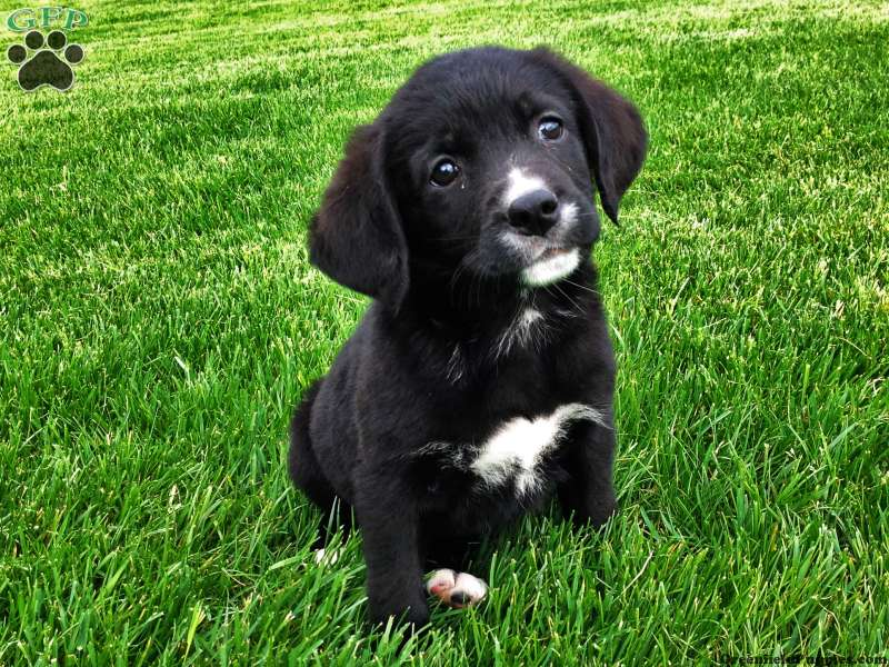 Labernese Puppies For Sale Greenfield Puppies