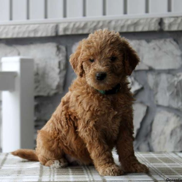 Labradoodle Puppies For Sale - Labradoodles | Greenfield