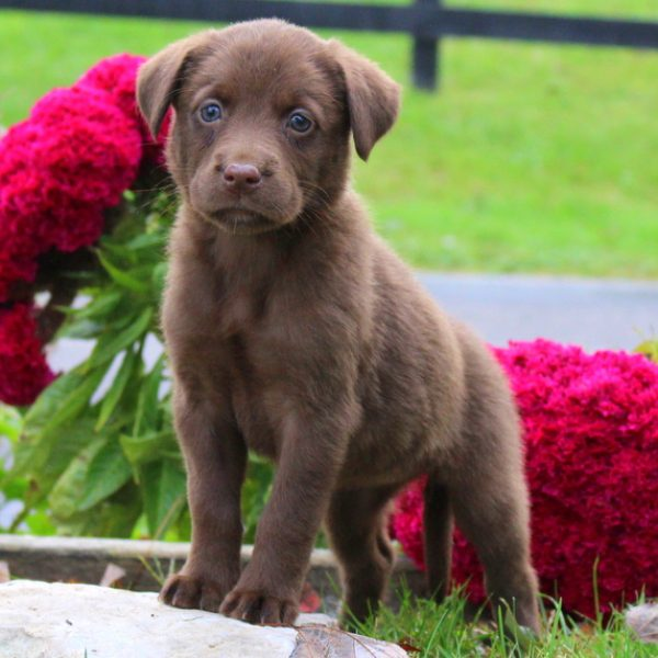 Labrador Mix Puppy