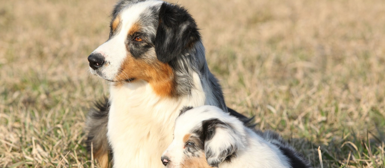 Miniature Australian Shepherd Puppies For Sale | Greenfield