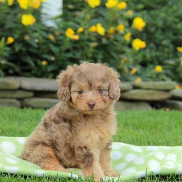 Miniature Aussiedoodle Puppies For Sale | Greenfield Puppies