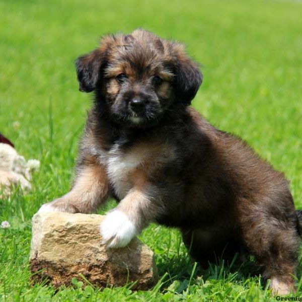 Australian Shepherd Mix-Miniature Puppy