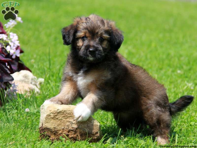 Miniature Australian Shepherd Mix Puppies For Sale ...
