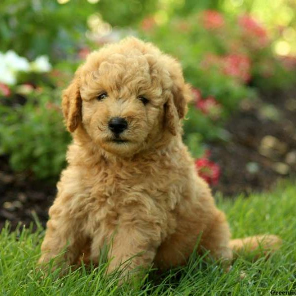 Current featured breed: Goldendoodle-Miniature