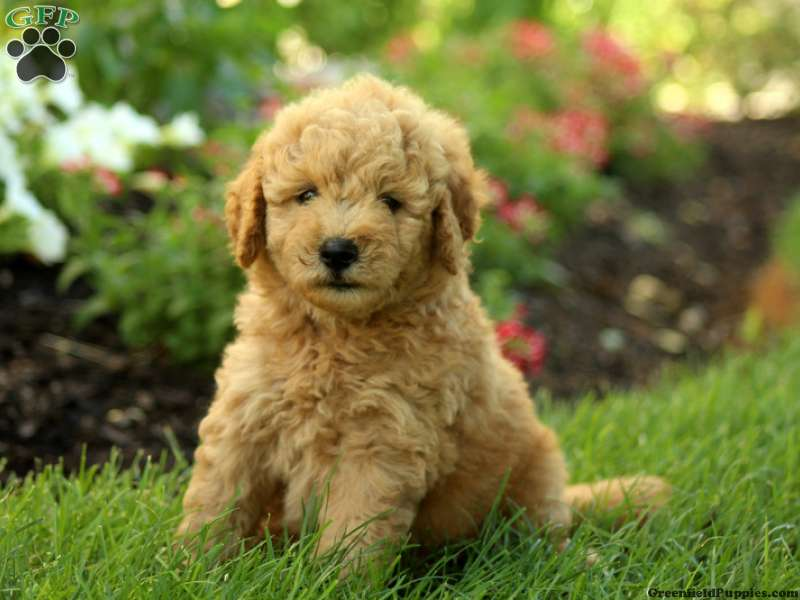 Mini Goldendoodle Puppies for Sale | Greenfield Puppies