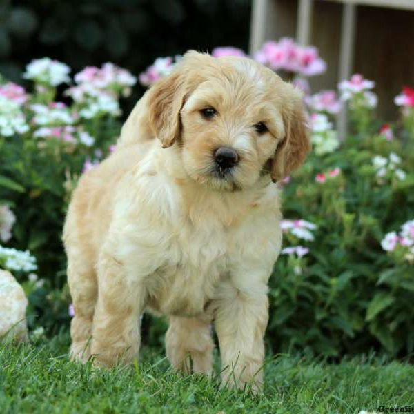 mini labradoodle puppies for sale | greenfield puppies
