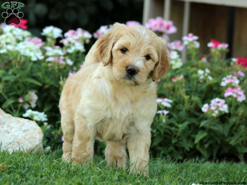 Miniature Labradoodle Puppies For Sale In De Md Ny Nj Philly Dc And Baltimore