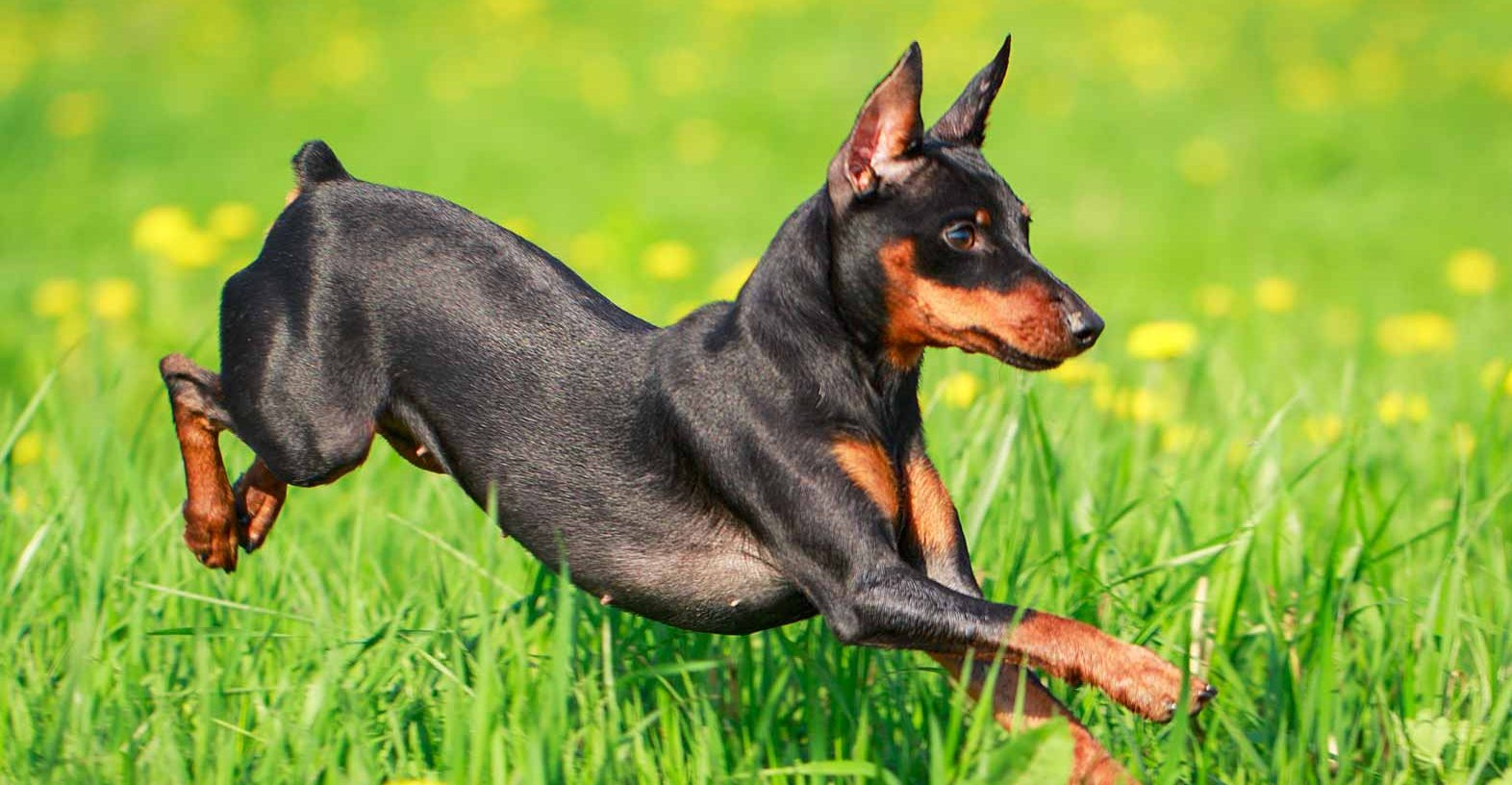 Miniature Pinscher Puppies For Sale Min Pin Puppies Greenfield Puppies