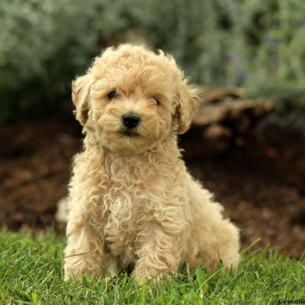 Miniature Poodle Puppies For