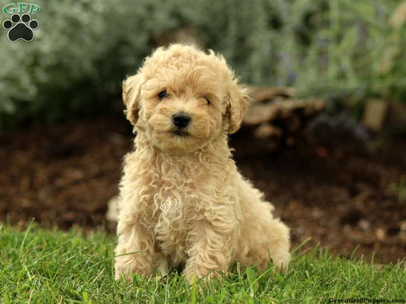Miniature Poodle Puppies For Sale In De Md Ny Nj Philly Dc And Baltimore